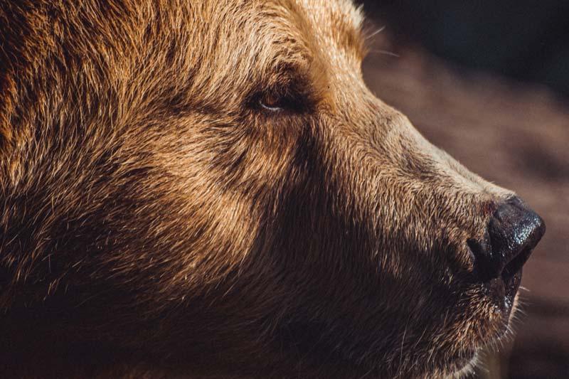 たそがれる熊